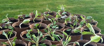 plante-semis